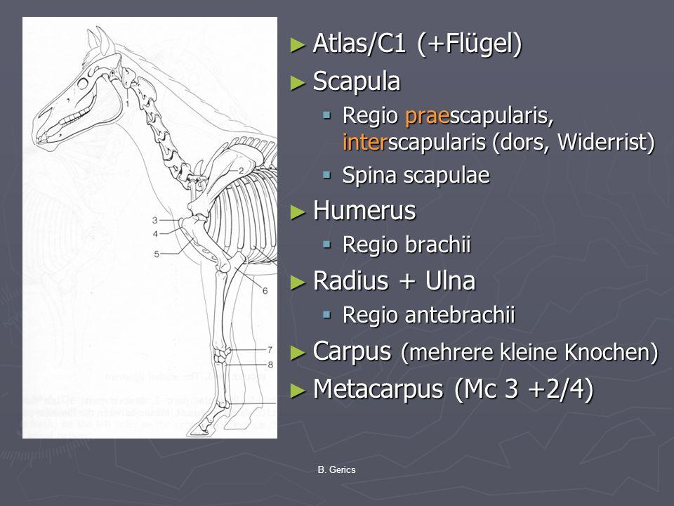 Atlas/C1 (+Flügel) Scapula Regio praescapularis, interscapularis (dors, Widerrist) Spina scapulae Humerus Regio brachii Radius + Ulna Regio antebrachi