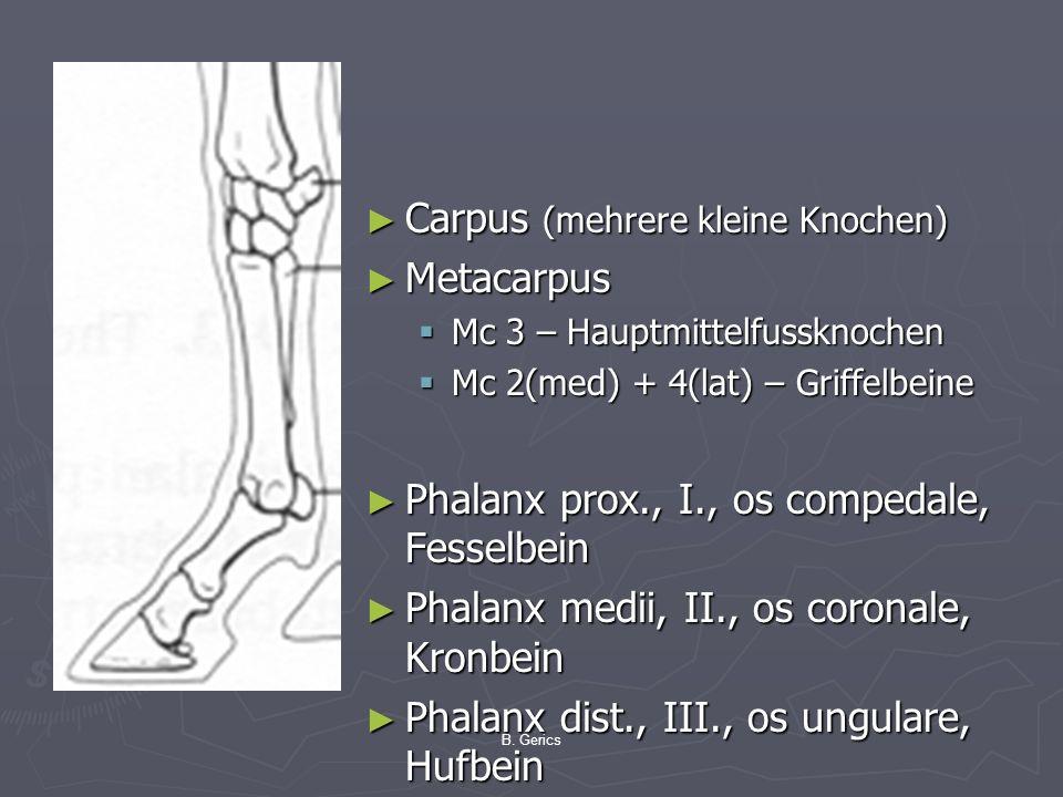 B. Gerics Carpus (mehrere kleine Knochen) Metacarpus Mc 3 – Hauptmittelfussknochen Mc 2(med) + 4(lat) – Griffelbeine Phalanx prox., I., os compedale,