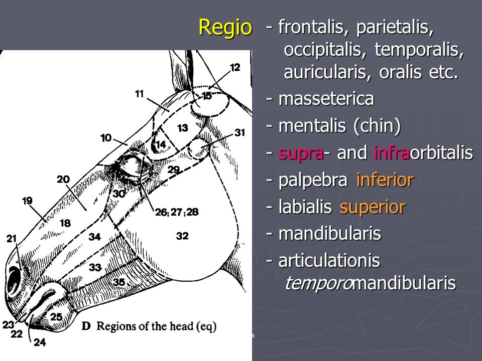 Regio - frontalis, parietalis, occipitalis, temporalis, auricularis, oralis etc. - masseterica - mentalis (chin) - supra- and infraorbitalis - palpebr