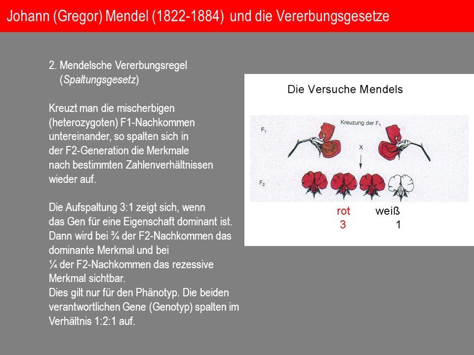 2. Mendelsche Vererbungsregel ( Spaltungsgesetz ) Kreuzt man die mischerbigen (heterozygoten) F1-Nachkommen untereinander, so spalten sich in der F2-G