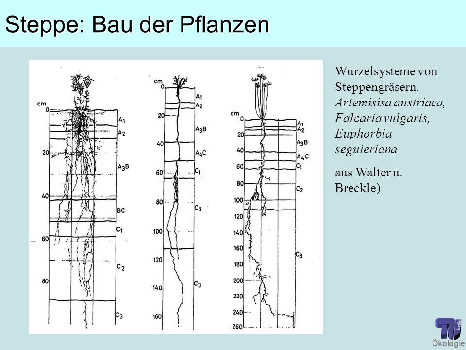 Ökologie Steppe: Bau der Pflanzen Wurzelsysteme von Steppengräsern. Artemisisa austriaca, Falcaria vulgaris, Euphorbia seguieriana aus Walter u. Breck