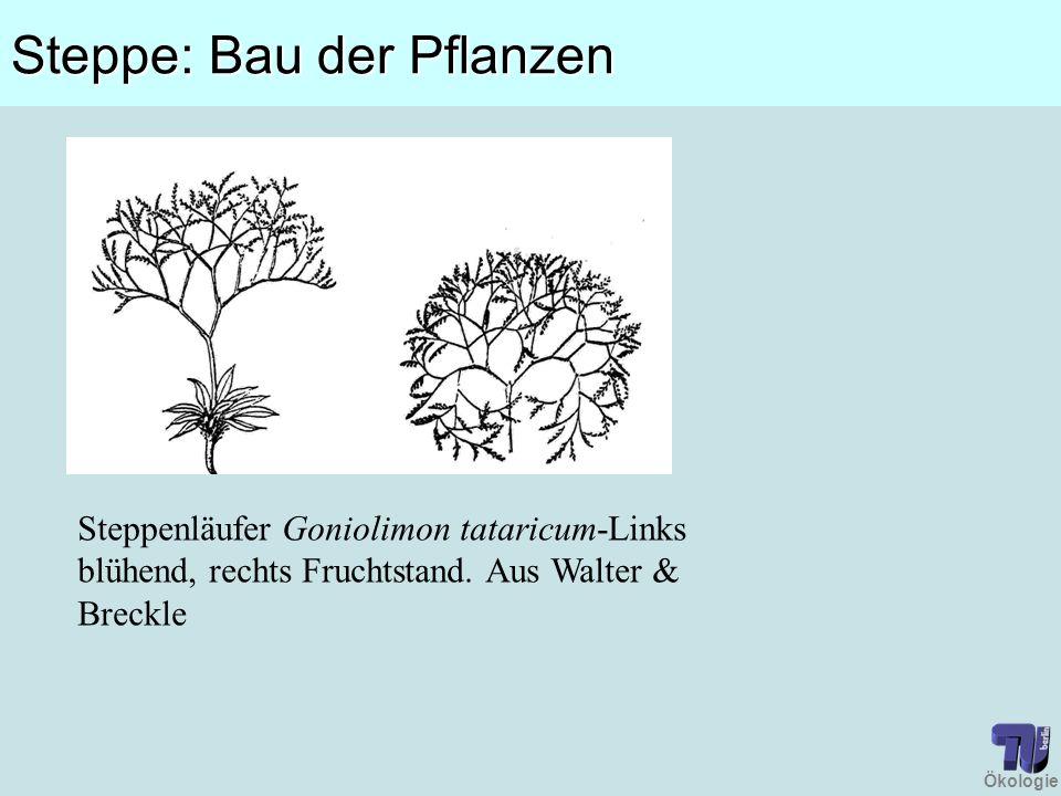 Ökologie Steppe: Bau der Pflanzen Steppenläufer Goniolimon tataricum-Links blühend, rechts Fruchtstand. Aus Walter & Breckle