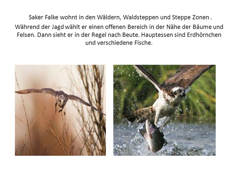 Saker Falke wohnt in den Wäldern, Waldsteppen und Steppe Zonen.