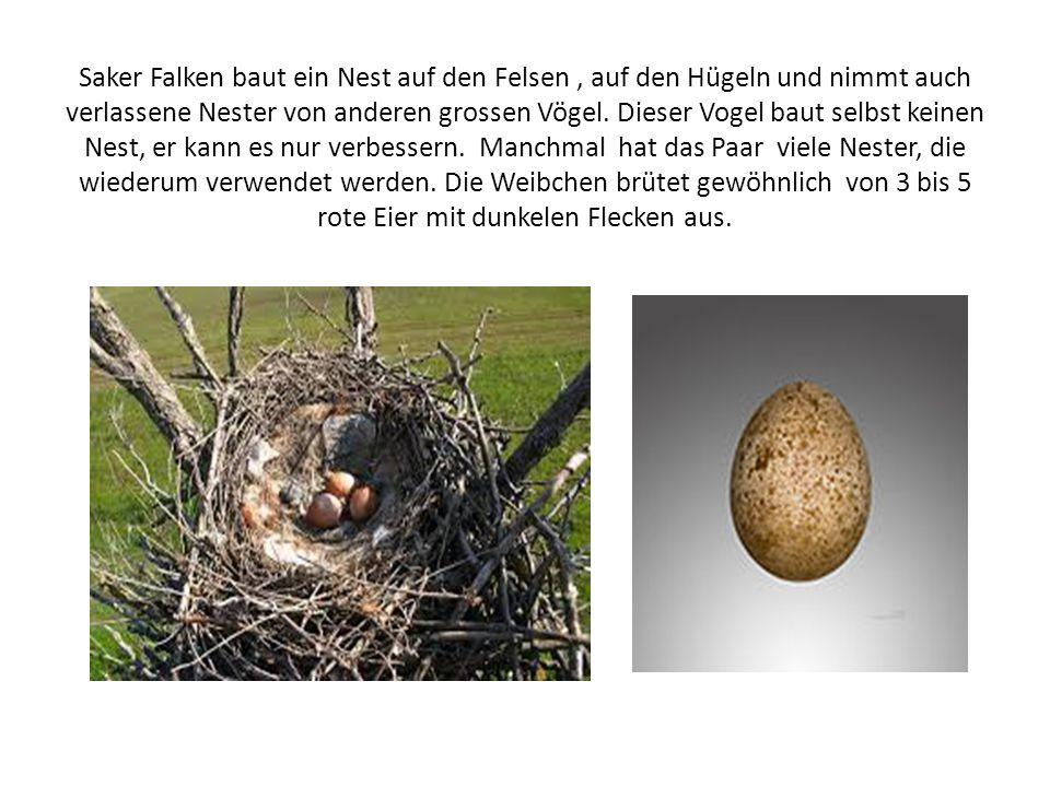 Saker Falken baut ein Nest auf den Felsen, auf den Hügeln und nimmt auch verlassene Nester von anderen grossen Vögel.