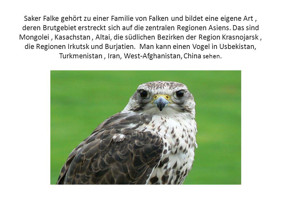 Saker Falke gehört zu einer Familie von Falken und bildet eine eigene Art, deren Brutgebiet erstreckt sich auf die zentralen Regionen Asiens.