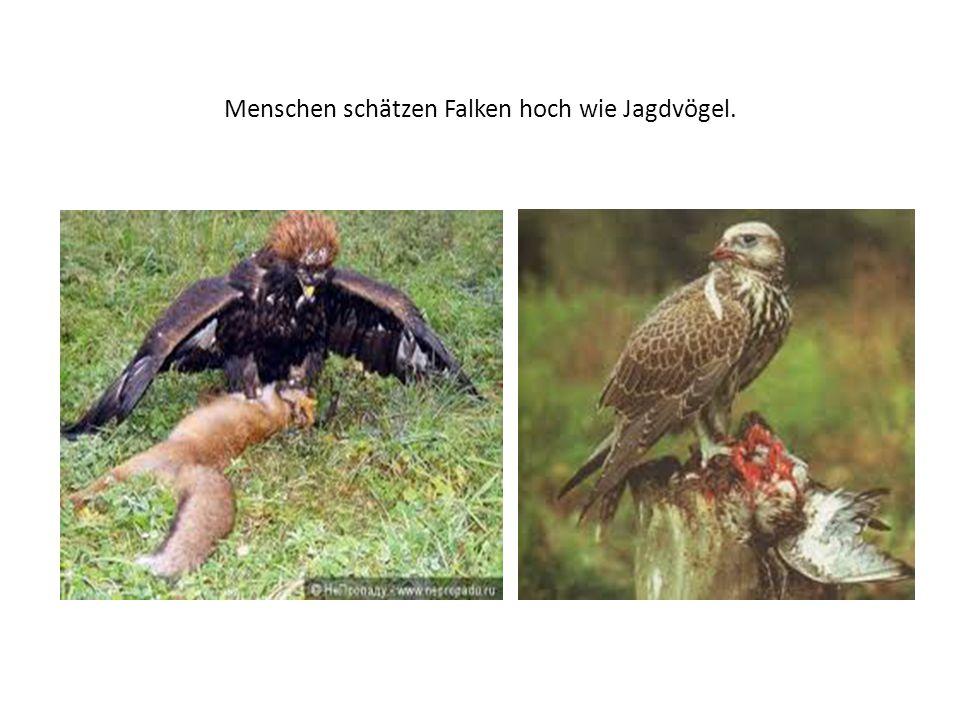Sie essen Pfeifhasen, Murmeltiere, Hasen und verschiedene Singvögel.