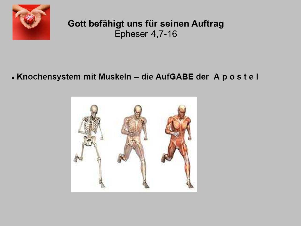 Gott befähigt uns für seinen Auftrag Epheser 4,7-16 Knochensystem mit Muskeln – die AufGABE der A p o s t e l