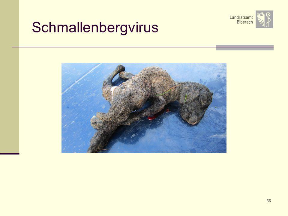 36 Schmallenbergvirus