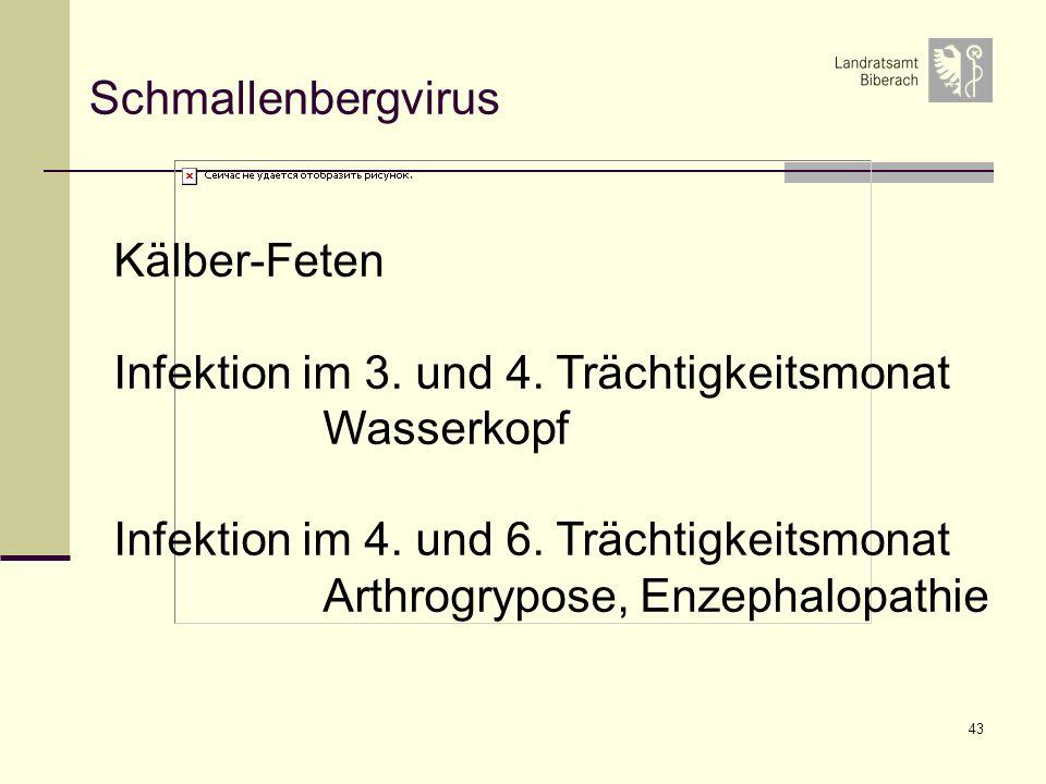 43 Schmallenbergvirus Kälber-Feten Infektion im 3. und 4. Trächtigkeitsmonat Wasserkopf Infektion im 4. und 6. Trächtigkeitsmonat Arthrogrypose, Enzep