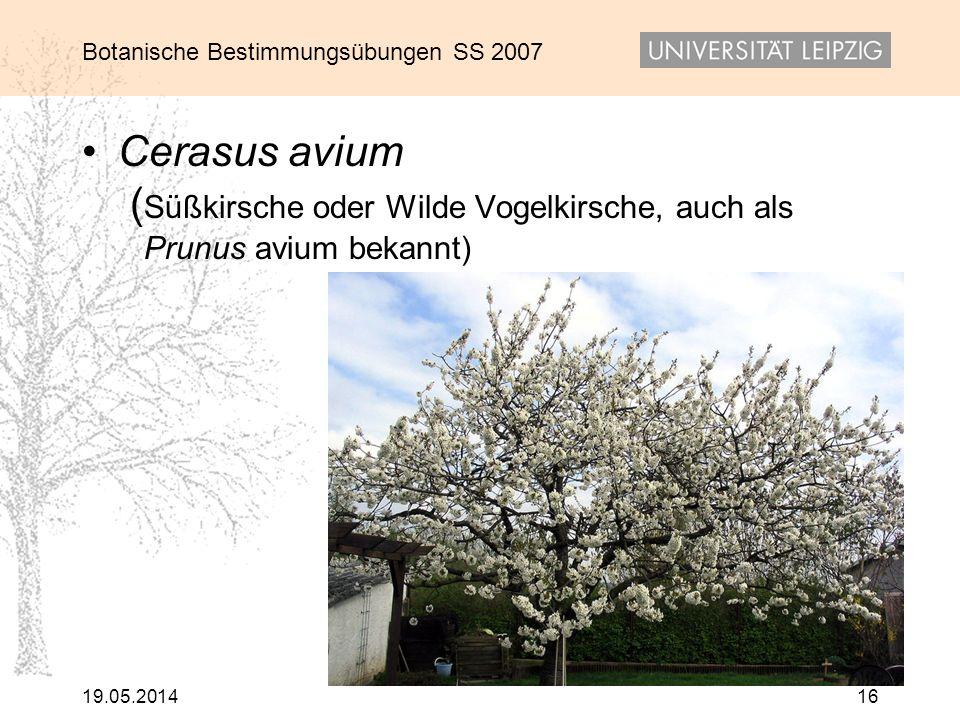 Botanische Bestimmungsübungen SS 2007 19.05.201416 Cerasus avium ( Süßkirsche oder Wilde Vogelkirsche, auch als Prunus avium bekannt)