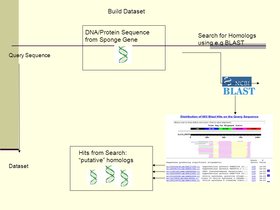 Build Dataset Dataset Query Sequence DNA/Protein Sequence from Sponge Gene Search for Homologs using e.g BLAST Hits from Search: putative homologs