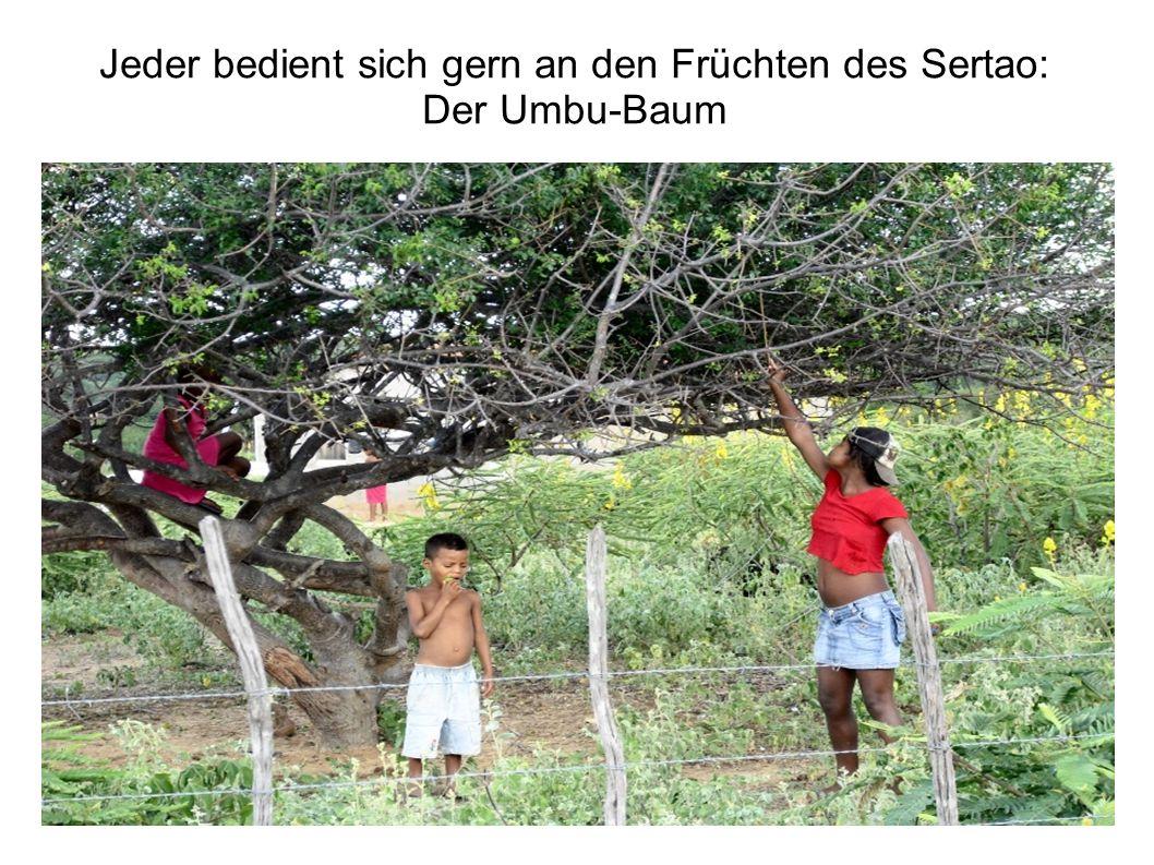 Jeder bedient sich gern an den Früchten des Sertao: Der Umbu-Baum