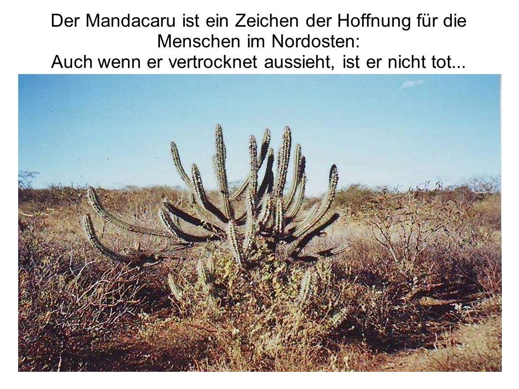 Der Mandacaru ist ein Zeichen der Hoffnung für die Menschen im Nordosten: Auch wenn er vertrocknet aussieht, ist er nicht tot...