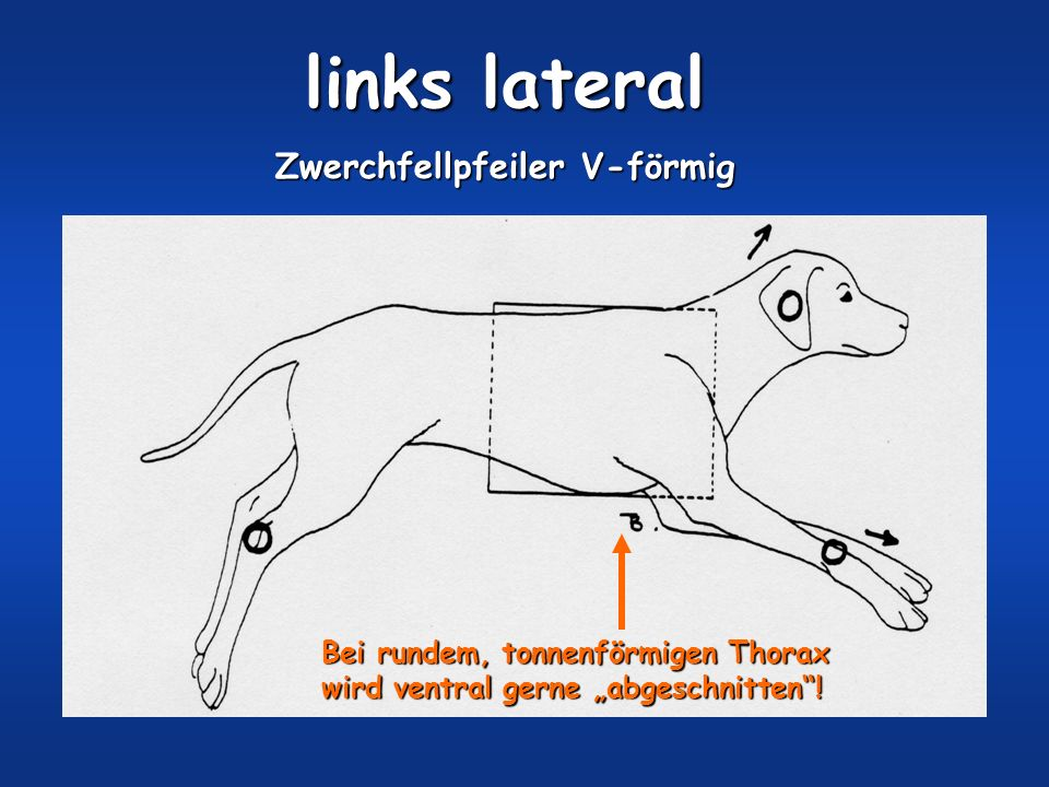 links lateral Zwerchfellpfeiler V-förmig Bei rundem, tonnenförmigen Thorax wird ventral gerne abgeschnitten!