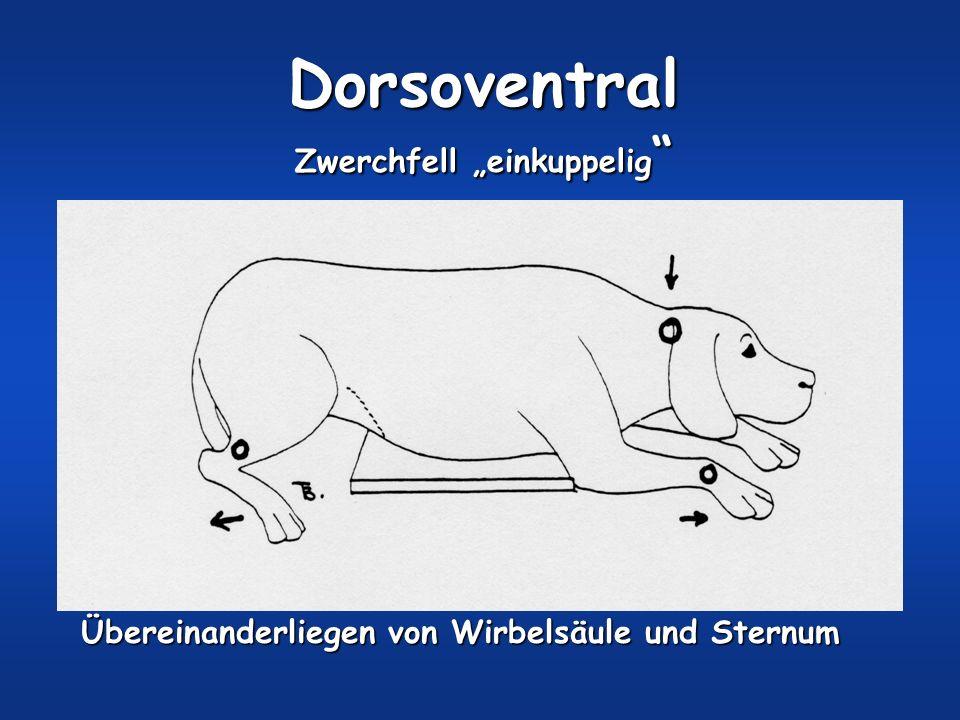 Dorsoventral Zwerchfell einkuppelig Zwerchfell einkuppelig Übereinanderliegen von Wirbelsäule und Sternum