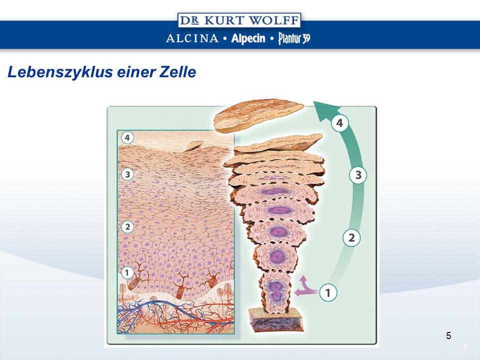 5 5 Lebenszyklus einer Zelle