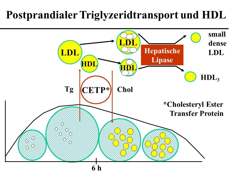 6 h LDL HDL LDL HDL Hepatische Lipase small dense LDL HDL 3 Postprandialer Triglyzeridtransport und HDL CETP* Tg Chol *Cholesteryl Ester Transfer Protein