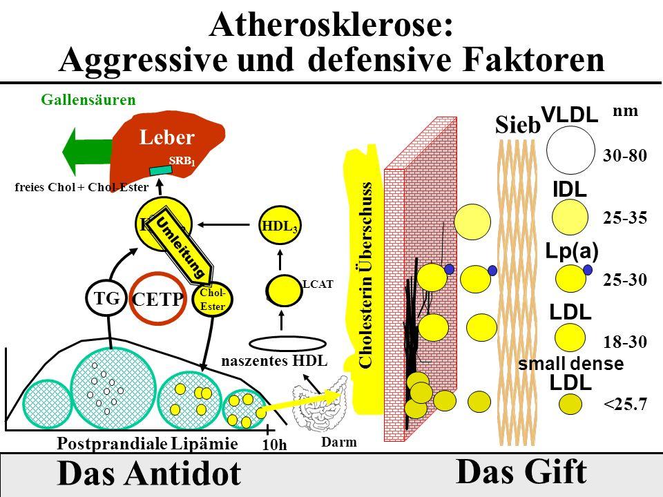 Atherosklerose: Aggressive und defensive Faktoren Cholesterin Überschuss VLDL IDL LDL Lp(a) Sieb 18-30 25-30 25-35 30-80 nm small dense LDL <25.7 Das Gift Das Antidot Leber SRB 1 Darm Gallensäuren freies Chol + Chol-Ester HDL 2 HDL 3 LCAT naszentes HDL 10h Postprandiale Lipämie Chol- Ester CETP TG Umleitung