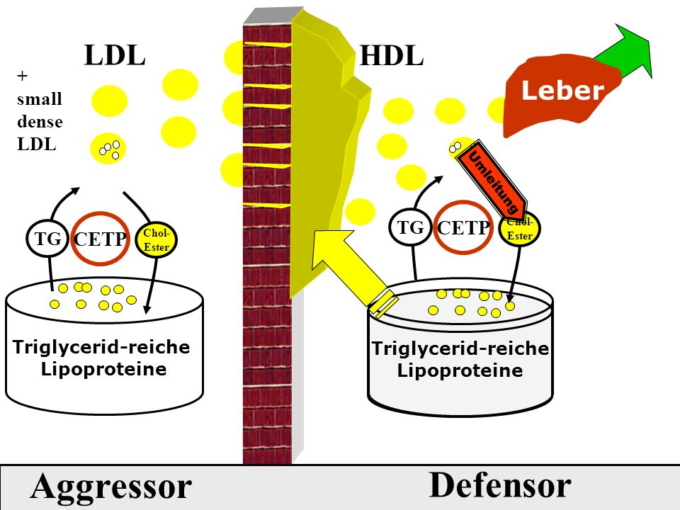 Triglycerid-reiche Lipoproteine LDL Defensor Aggressor Triglycerid-reiche Lipoproteine Leber HDL Chol- Ester CETP TG Umleitung + small dense LDL Chol- Ester CETP TG