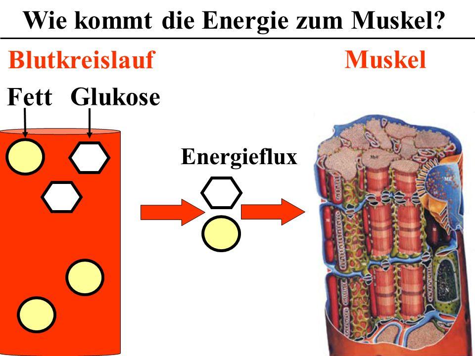 Wie kommt die Energie zum Muskel? Fett Glukose Muskel Blutkreislauf Energieflux
