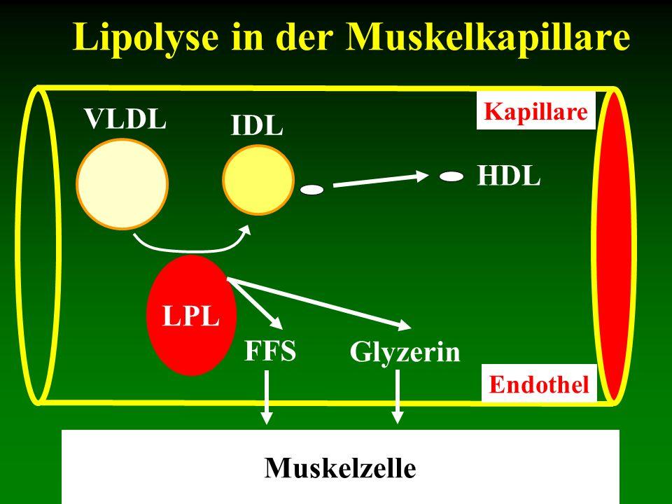 Lipolyse in der Muskelkapillare VLDL IDL HDL Kapillare Endothel LPL Glyzerin FFS Muskelzelle