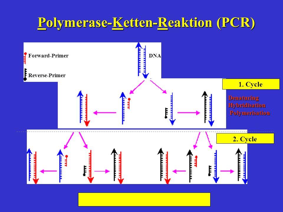 Polymerase-Ketten-Reaktion (PCR) DNA Forward-Primer Reverse-Primer Denaturing Hybridisation Polymerisation Polymerisation 1. Cycle 2. Cycle