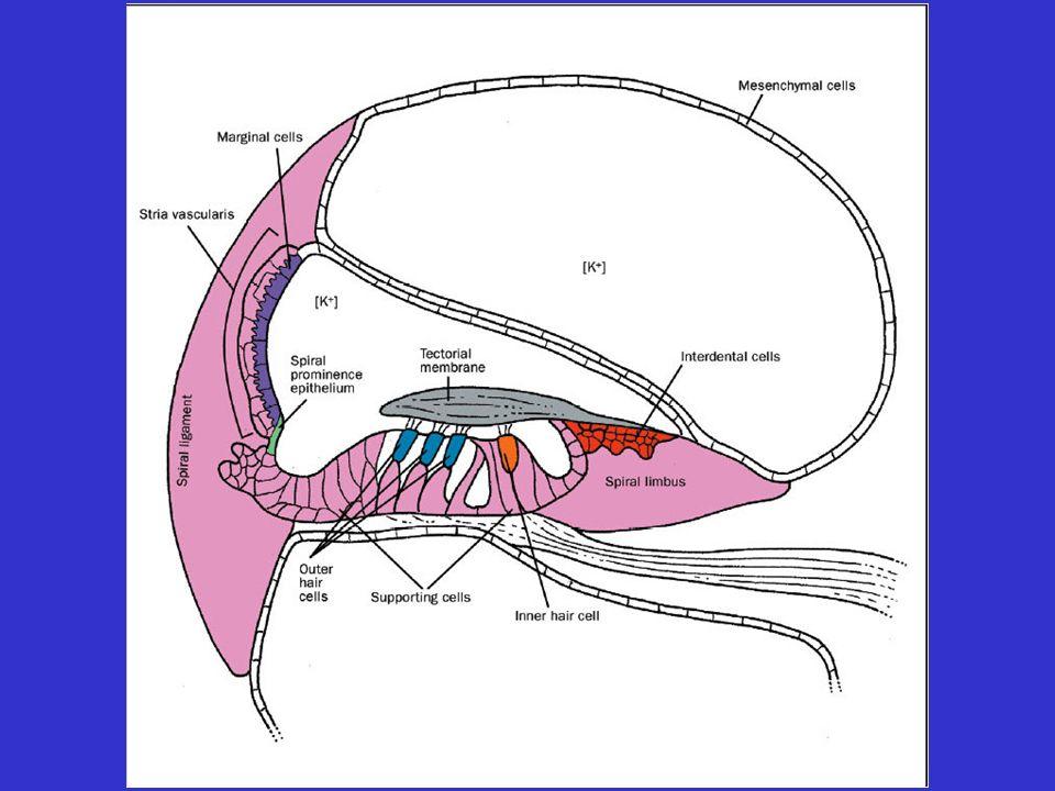 Tekin et al., Lancet (2001): Advances in hereditary deafness K+
