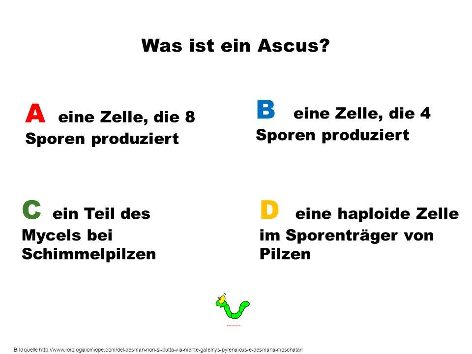 Was ist ein Ascus? A eine Zelle, die 8 Sporen produziert B eine Zelle, die 4 Sporen produziert C ein Teil des Mycels bei Schimmelpilzen D eine haploid