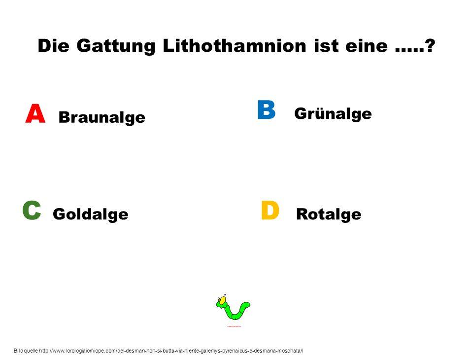 Die Gattung Lithothamnion ist eine …..? A Braunalge B Grünalge C Goldalge D Rotalge Bildquelle http://www.lorologiaiomiope.com/del-desman-non-si-butta