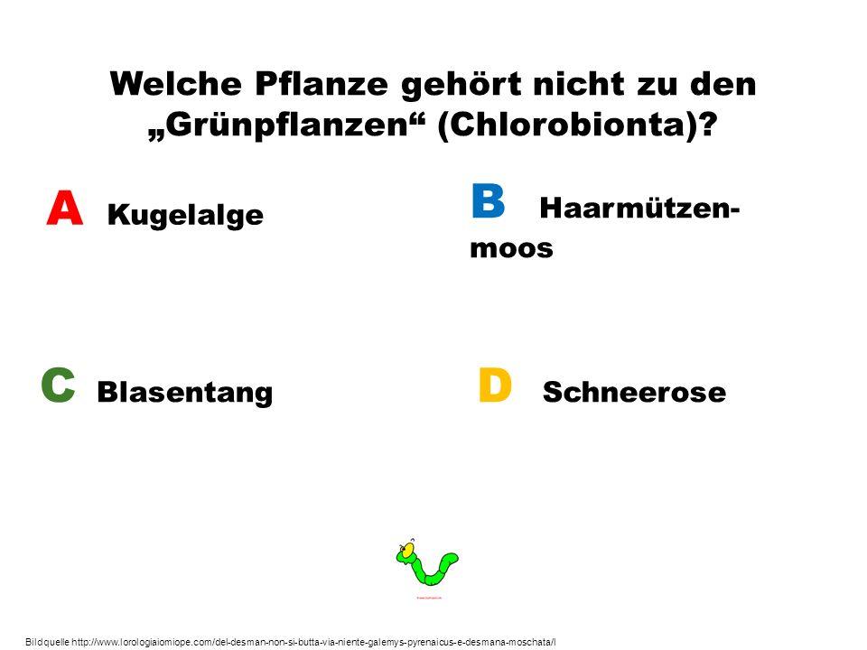 Welche Pflanze gehört nicht zu den Grünpflanzen (Chlorobionta)? A Kugelalge B Haarmützen- moos C Blasentang D Schneerose Bildquelle http://www.lorolog
