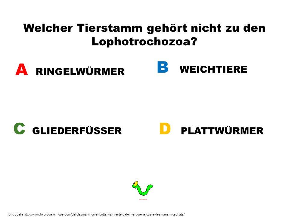 Welcher Tierstamm gehört nicht zu den Lophotrochozoa? A RINGELWÜRMER B WEICHTIERE C GLIEDERFÜSSER D PLATTWÜRMER Bildquelle http://www.lorologiaiomiope