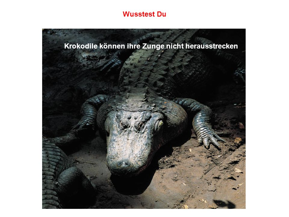 Krokodile können ihre Zunge nicht herausstrecken Wusstest Du