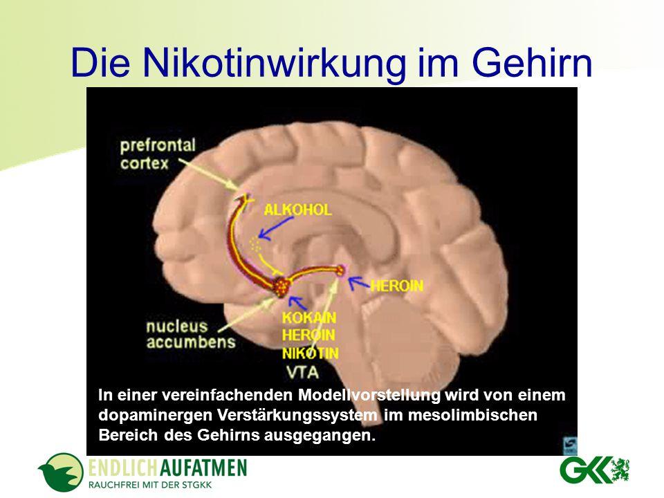 Die Nikotinwirkung im Gehirn In einer vereinfachenden Modellvorstellung wird von einem dopaminergen Verstärkungssystem im mesolimbischen Bereich des G