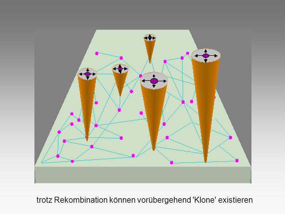 trotz Rekombination können vorübergehend 'Klone' existieren