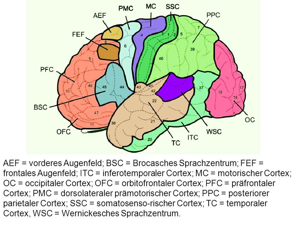 AEF = vorderes Augenfeld; BSC = Brocasches Sprachzentrum; FEF = frontales Augenfeld; ITC = inferotemporaler Cortex; MC = motorischer Cortex; OC = occi