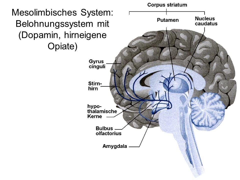 Mesolimbisches System: Belohnungssystem mit (Dopamin, hirneigene Opiate)