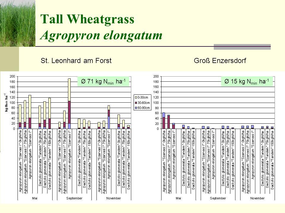 Tall Wheatgrass Agropyron elongatum St.