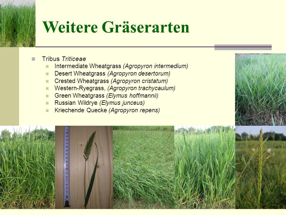 Tribus Triticeae Intermediate Wheatgrass (Agropyron intermedium) Desert Wheatgrass (Agropyron desertorum) Crested Wheatgrass (Agropyron cristatum) Western-Ryegrass, (Agropyron trachycaulum) Green Wheatgrass (Elymus hoffmannii) Russian Wildrye (Elymus junceus) Kriechende Quecke (Agropyron repens) Weitere Gräserarten