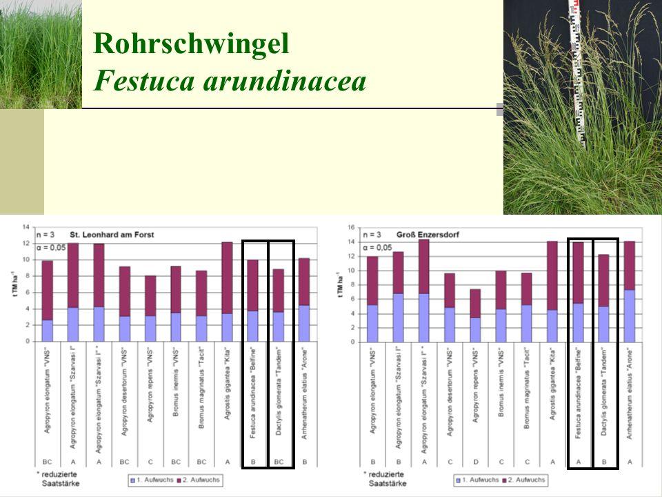 raublättrige Wildformweichblättrige Zuchtsorte Rohrschwingel Festuca arundinacea
