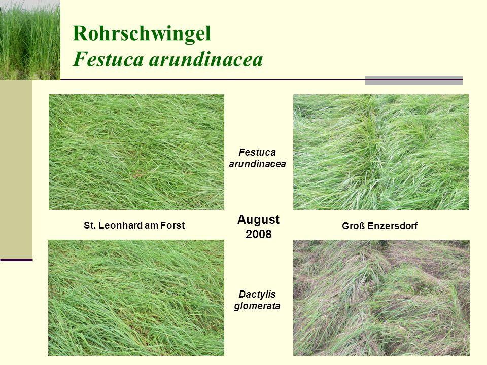 Schrabauer, Humer und Liebhard Folie 24 Rohrschwingel Festuca arundinacea August 2008 St.