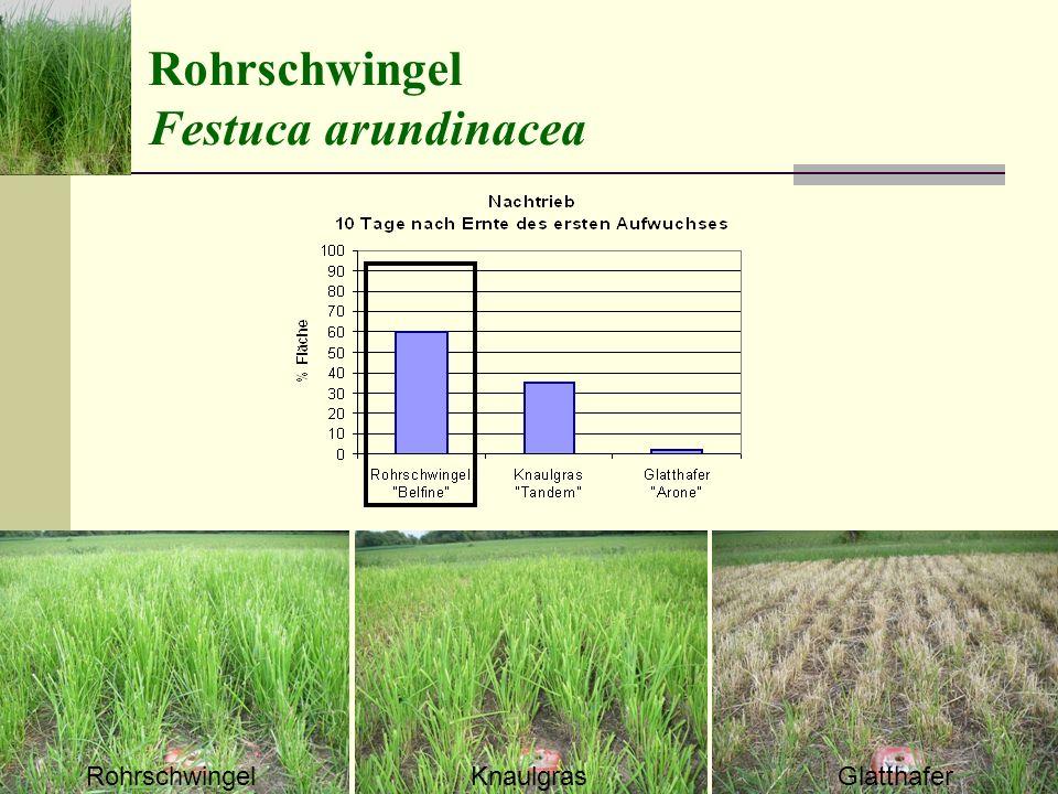 Rohrschwingel Festuca arundinacea RohrschwingelKnaulgrasGlatthafer