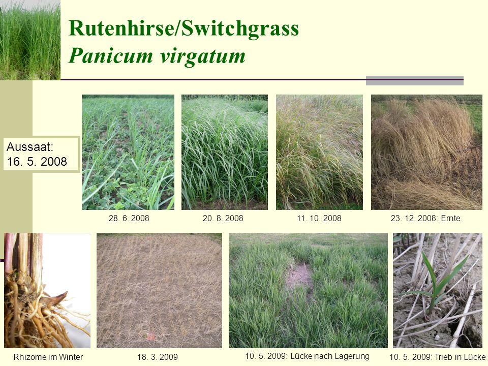 Rutenhirse/Switchgrass Panicum virgatum 28.6. 2008 Aussaat: 16.