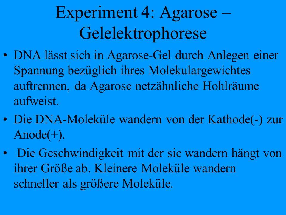 Experiment 4: Agarose – Gelelektrophorese DNA lässt sich in Agarose-Gel durch Anlegen einer Spannung bezüglich ihres Molekulargewichtes auftrennen, da