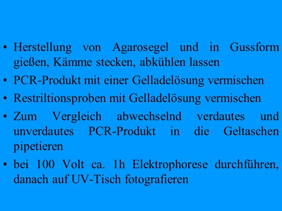 Herstellung von Agarosegel und in Gussform gießen, Kämme stecken, abkühlen lassen PCR-Produkt mit einer Gelladelösung vermischen Restriltionsproben mi