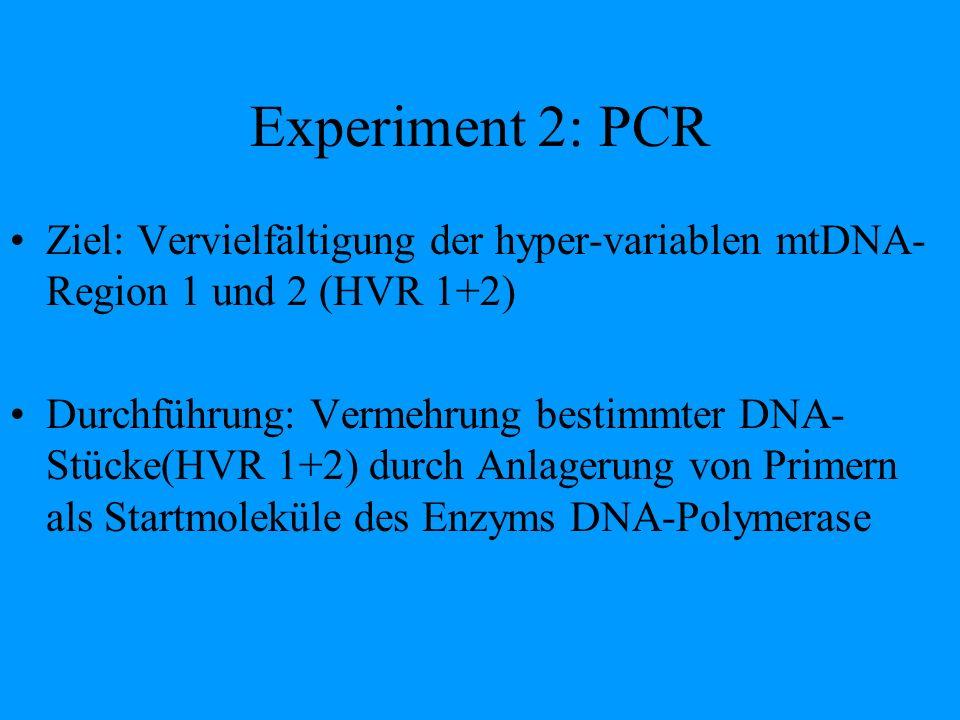 Experiment 2: PCR Ziel: Vervielfältigung der hyper-variablen mtDNA- Region 1 und 2 (HVR 1+2) Durchführung: Vermehrung bestimmter DNA- Stücke(HVR 1+2)