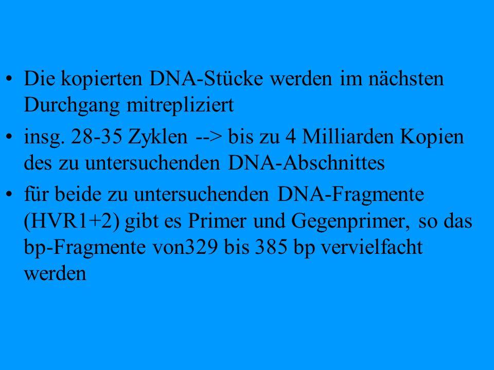 Die kopierten DNA-Stücke werden im nächsten Durchgang mitrepliziert insg. 28-35 Zyklen --> bis zu 4 Milliarden Kopien des zu untersuchenden DNA-Abschn