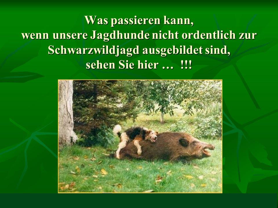 Was passieren kann, wenn unsere Jagdhunde nicht ordentlich zur Schwarzwildjagd ausgebildet sind, sehen Sie hier … !!!