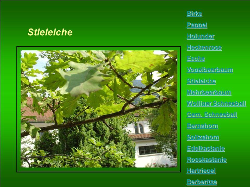 Stieleiche Birke Pappel Holunder Heckenrose Esche Vogelbeerbaum Stieleiche Mehrbeerbaum Wolliger Schneeball Wolliger Schneeball Gem. Schneeball Gem. S