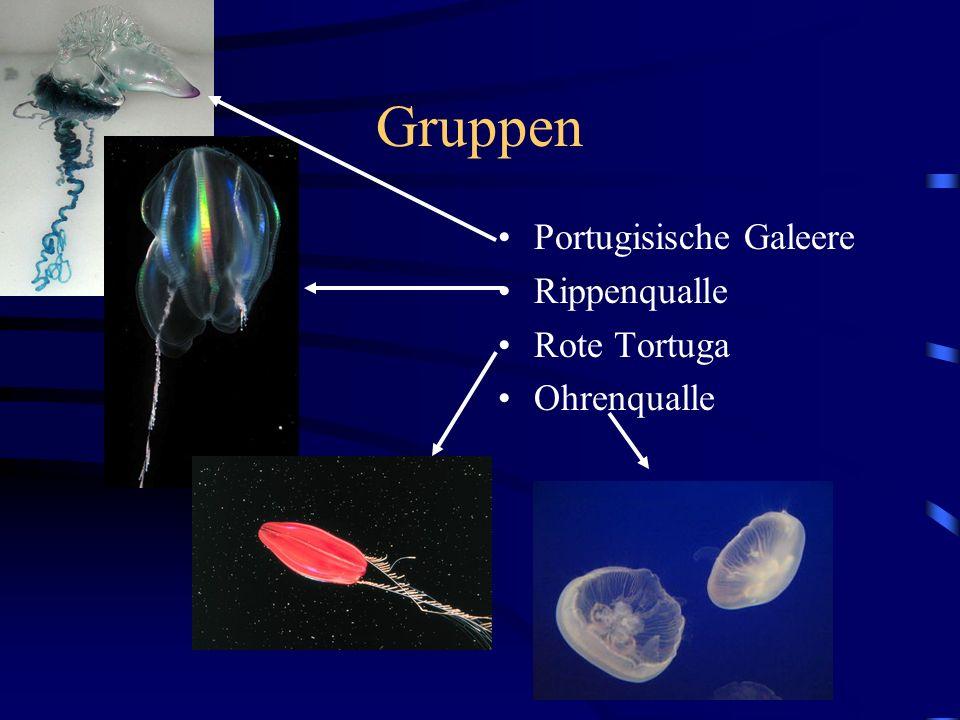 Gruppen Portugisische Galeere Rippenqualle Rote Tortuga Ohrenqualle