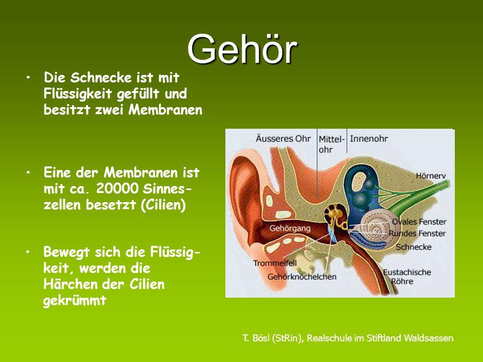 Gehör Die Ohrmuschel fängt Schallwellen auf und leitet sie in den Gehörgang Das Trommelfell beginnt zu schwingen Die Gehörknöchelchen verstärken die Vibration und übertragen sie auf die Schnecke T.